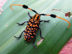 Shake Those Pom-Poms, Longhorn Beetle! | Featured Creature