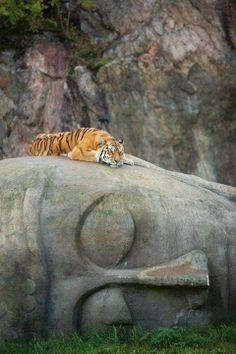 Tiger resting on a Buddha Head.  #breathtaking