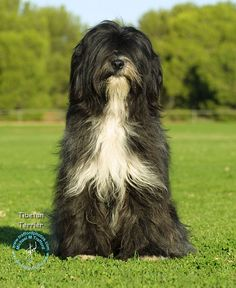 Who's a handsome doggie? Another beautiful Tibetan Terrier. Unique Dog Breeds, Black And White Dog, Tibetan Terrier, Terriers, Purebred Dogs, Lhasa Apso, Crazy Dog, Beautiful Dogs, Mans Best Friend