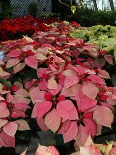 New Poinsettia Colors | Poinsettias won't kill your kitty (or anything else) - Gardening