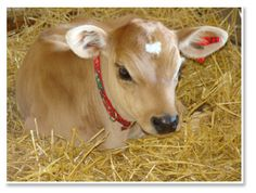 miniature Jersey cow, Ever seen anything so cute?