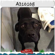 316168 Gabby   San Antonio, TX *Urgent! At Risk of Euthanasia! **PAST DEADLINE! We Need a Commitment by 10AM and the Pet Picked Up by 12PM TUES 12/16!** (Please Email by Deadline noted above or the Pet Can be Euthanized directly) To adopt, foster, or rescue, please email: placement@sanantoniopetsalive.org  316168 Gabby is gorgeous and very friendly! You can't help but fall in love when she gives you the puppy dog eyes! She is social, sweet, and all kisses! Gabby is a 1 year old American ...