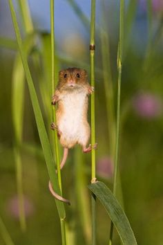 Field Mouse, Field Mice. Any of various small mice or voles, especially of the genus Microtus, inhabiting meadows and fields and often causing damage to crops. Also called meadow mouse. Field Mice by Jean Louis Klein & Marie Luce Hubert