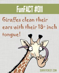 A giraffe's tongue can serve a lot of purposes, whoever knew?!