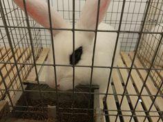 Coniglietti da esposizione~
