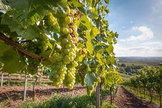vigna-vigneto-uva-bianca-grappolo-by-hykoe-fotolia-750.jpeg