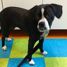 Meet our new member, Rudy!! A #bostonterrier #boxer mix who is friends with our buddy Fritz :) welcome, Rudy!