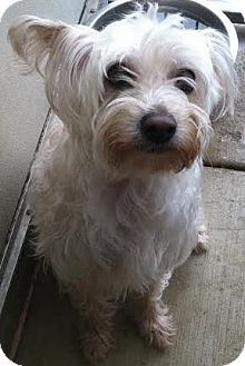 Westminster, CA - Maltese/Yorkie, Yorkshire Terrier Mix. Meet Pixie, a dog for adoption. http://www.adoptapet.com/pet/12896399-westminster-california-maltese-mix
