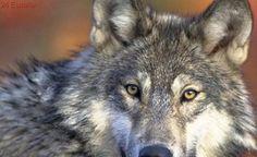 El lobo reconquista Aragón