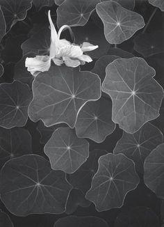 """"""" Ansel Adams, Nasturtiums, 1957 """""""