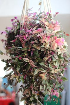 how to grow plants Tradescantia or 'wandering jew' for the shadier window in your home. Planting Succulents, Garden Plants, Indoor Plants, Planting Flowers, Purple Plants, Pink Plant, House Plants Decor, Plant Decor, Plantas Indoor
