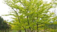 http://www.ebben.nl/ru/treeebb/gltsunbu-gleditsia-triacanthos-sunburst/