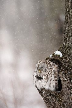 wonderous-world:  Ural Owl bySven Začek