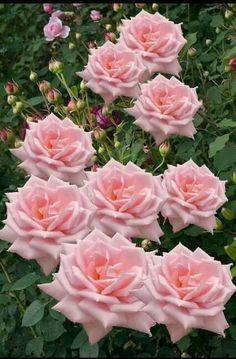~Lovely Pink Rose's~