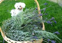 The best flea control is flea prevention. Now as a preventive measure, I rub my dogs with a few drops of lavender mixed in a few drops of carrier oil all over them before I expose them to other animals. Spraying with lavender water would also act as flea control or repellent.