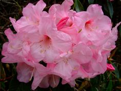 All sizes | Rhododendron | Flickr - Photo Sharing!