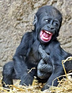 Jengo the baby gorilla enjoys a bout of tickle time with adult gorillas in his enclosure at Leipzig Zoo in Germany.