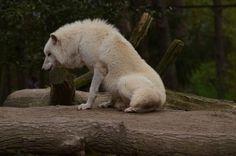 http://hotnstock.deviantart.com/art/Arctic-Wolf-6-299338661