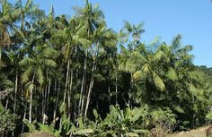 Juçara (Euterpe edulis Mart., Arecaceae (Palmae)) Origem: Brasil – Mata Atlântica