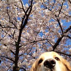 Cherry Blossoms in Full Bl…HEY!