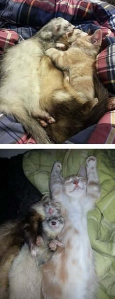 Cat and ferret family!!
