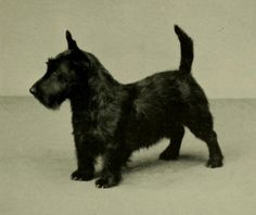 The Scottish Terrier was bred in 19th-century Britain for hunting small mammals.  Since then it has become more popular in North America, partially because of the character Jock in Lady & the Tramp.  The Scottish is quieter than many terriers, but still makes an effective watchdog when it senses something unusual.  The Scottish is at home in the city & handles cold well but is not easily trained.