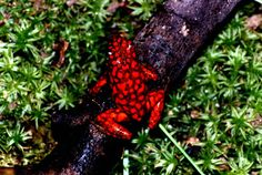Histrionicus morphs - Page 2 Tiny Baby Animals, Cute Animals, Geckos, Frog Habitat, Photos Of Fish, Colorful Animals, Exotic Animals, Small Frog, Poison Dart Frogs