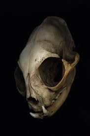 cat skull  I want this sooooooooooooooooooooooooooooo bad I have always wanted a cat skull.