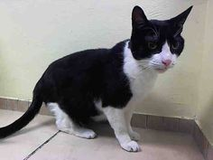 TO BE DESTROYED 5/11/14Brooklyn CenterMy name is OREO. My Animal ID # is A0998008. UPDATE: ***SAFE*** Pulled by HVARS- Donation website: http://www.hvars.org/