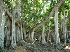 Banyan Tree at Edison Home in Fort Myers.  My favorite tree in the world.