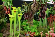 I want some carnivorous plants in an indoor conservatory type place in my future house.