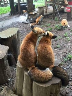 In Miyagi Prefecture, Japan, Zao Kitsune Village is a zoo with over 100 little fox fluff-balls running free through the park grounds. Animals And Pets, Baby Animals, Funny Animals, Cute Animals, Funny Foxes, Nature Animals, Wild Animals, Beautiful Creatures, Animals Beautiful