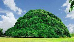 Gigante árbol Higuerón cuyo nombre científico es Ficus Aurea ubicado en San Marcos, Sucre, Colombia