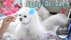 Maltese Dog Grooming ~ Korean style / Asian style UPDO hairstyles for Maltese dogs