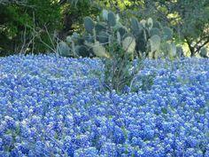 Texas Bluebonnets in New Braunfels
