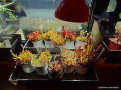 Foto de carnivoras ferrolterra - Google Fotos
