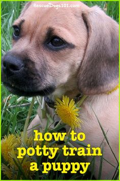 Learn how to potty train any puppy fast with my 4 easy to follow steps. #puppy #puppies #dogs #rescuedogs101 Dog Rescue Shelters, Rescue Puppies, Best Puppies, Dogs And Puppies, Dogs 101, Puppy Potty Training Tips, Dog Training, Animal Rescue Stories, Puppy Find
