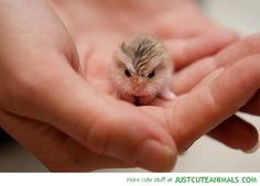 adorable tiny hamster in human's hand