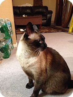 05/02/16 SL~~~04/01/16--Siamese Cat for adoption in Pittstown, New Jersey - Simba