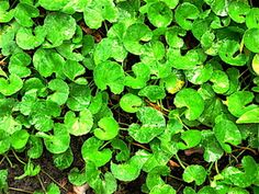 Gotu Kola--fights mental fatigue, obesity, fights heart disease, lowers blood pressure, improves heart muscle function and boost overall immune function. A great supplement Gotu Kola Benefits, Tea Benefits, Increase Intelligence, Heart Muscle, Muscle Function, Wound Healing, Healing Herbs, Centella, Medicinal Plants