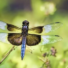 Dragonfly on the C&O canal near Potomac, Maryland by Francis Sullivan. Prints $21 #dragonfly #maryland #wallart #gifts #framedprints #greetingcards #iphonecases