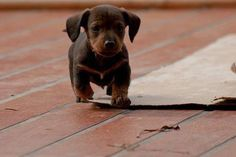 Baby Dachshund Pup - A Place to Love Dogs Puppies And Kitties, Cute Puppies, Cute Dogs, Cute Babies, Doggies, Doxie Puppies, Awesome Dogs, Cute Baby Animals, Funny Animals