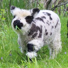 -Largeandmelodious: - The Happy Cottage Valais Blacknose Lamb This sable is preposterously cute. Tierisch lustig( incredible) ~ s a l l y y c i n n a a m o n ~ 𝚝 𝚎 𝚗 · 𝚍 𝚎 𝚛 FAIR YETI Cute Baby Cow, Baby Cows, Cute Cows, Baby Farm Animals, Baby Elephants, Fluffy Cows, Fluffy Animals, Animals And Pets, Wild Animals