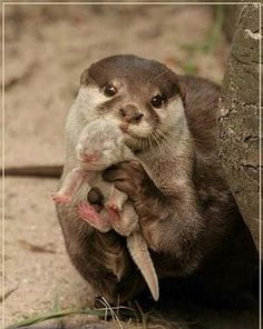 Otter and baby Otter