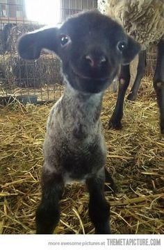 Smiling lamb…   PRECIOUS !