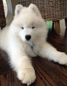 Bear the Samoyed Pictures