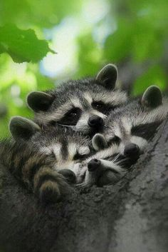 A group of young Racoons, looking for trouble? (because of the black across their eyes, they're also nicknamed bandits). Habitat loss means coexistence not harm! Nature Animals, Animals And Pets, Baby Animals, Funny Animals, Cute Animals, Beautiful Creatures, Animals Beautiful, Animal Magic, Mundo Animal