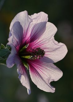 Pink & White Tree Mallow Flower