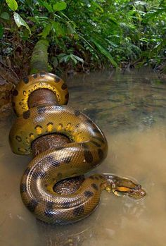 A is for Anaconda - From the rivers of Ecuador's Yasuni National Park. The dragon is known as the Green Anaconda (Eunectes murinus). Photo by Alejandro Arteaga Anaconda Verde, Anaconda Snake, Green Anaconda, Giant Anaconda, Nature Animals, Animals And Pets, Cute Animals, Wild Animals, Reptiles Et Amphibiens