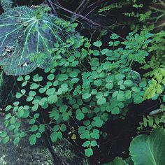 Thalictrum minus (Meadow rue) - Fine Gardening Plant Guide